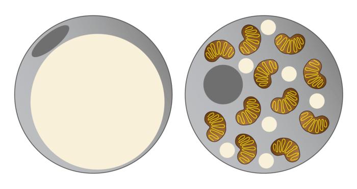 Grafische Abbildung einer weißen und einer braunen Fettzelle.