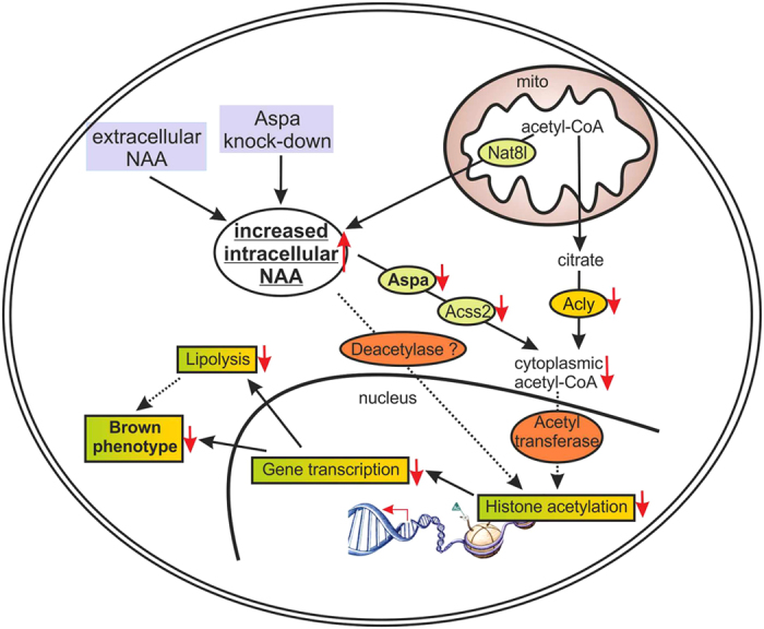 Schema des NAA-Signalweges in einer braunen Fettzelle.