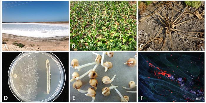 Sechsteilige Abbildung: Stressfaktoren versalzte Böden (A) und Trockenheitssymptome bei Zuckerrübe (B + C). D) Antagonistische Aktivität von einem Bakterium (rechts) gegen den Schaderreger Rhizoctonia solani (links). E) Keimung von Sorghum-Samen und (F) Besiedelung von Zuckerrübenwurzel mit Pseudomonas (rot) und Serratia (blau).