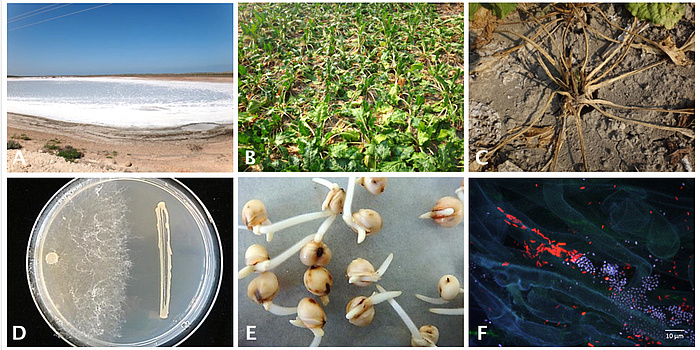 Six-part figure: Stress factors salinized soils (A) and drought symptoms in the case of sugar beet (B + C). D) Antagonistic activity by a bacterium (right) against the pathogen Rhizoctonia solani (left). E) Germination of sorghum seeds, and (F) Colonisation of sugar beet root with Pseudomonas (red) and Serratia (blue).
