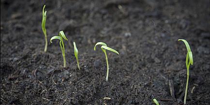 Several small plants in black soil.
