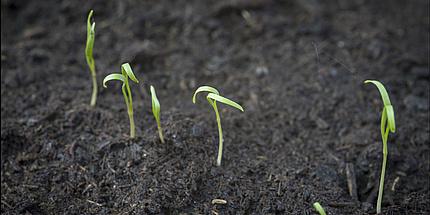 Mehrere kleine Pflanzen in schwarzer Erde.