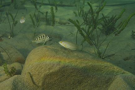 Zwei Buntbarsche im Wasser vor grünen Wasserpflanzen und Steinen. Der linke Buntbarsch ist schwarz-weiß Quergestreift und hat ausgeprägte Rückenflossen. Der rechte Buntbarsch ist grau mit hellen Punkten und weist eine längliche Körperform auf.