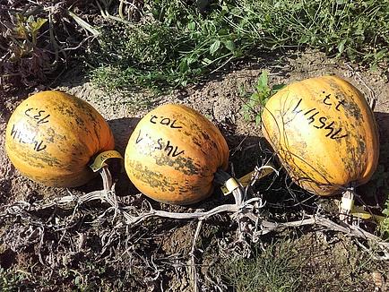 Three oil pumpkins in a field