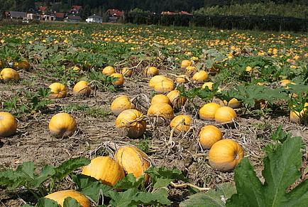 an oil pumpkin field